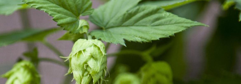 Beer, Hops, and Battling Cavities